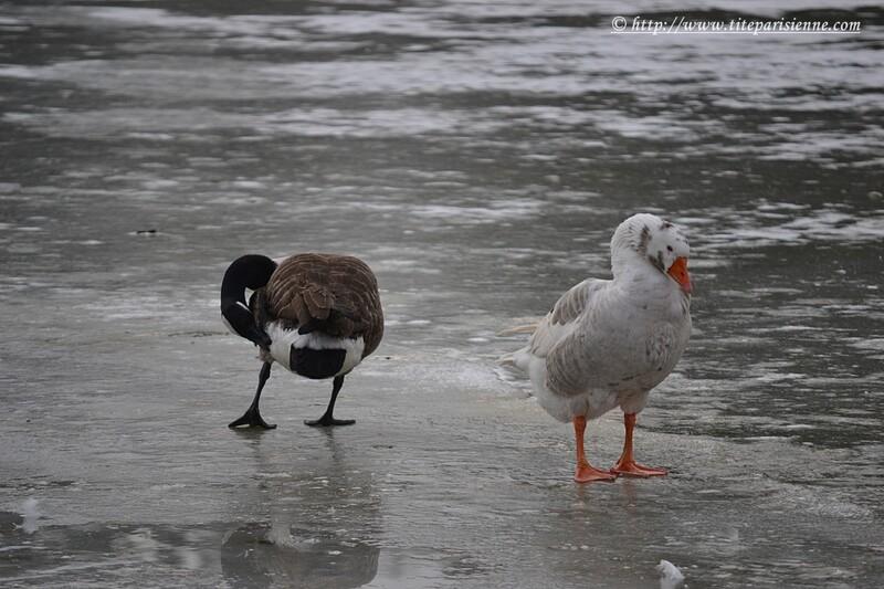 Lac Daumesnil, Paris 12ème : Oie Bernache du Canada et Oie blanche hybride