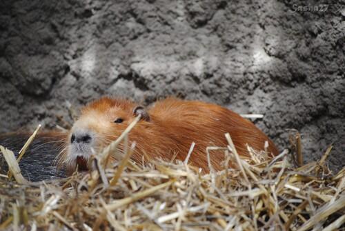 (2) Le mâle ragondin.