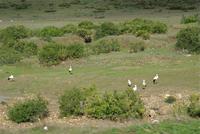 CIGOGNES - de Tétouan à moulay Bousselham