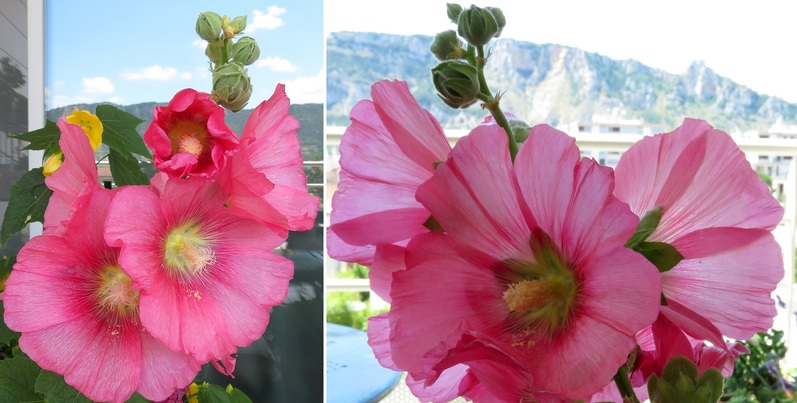 Le choix de l'ange de vue: les roses trémières