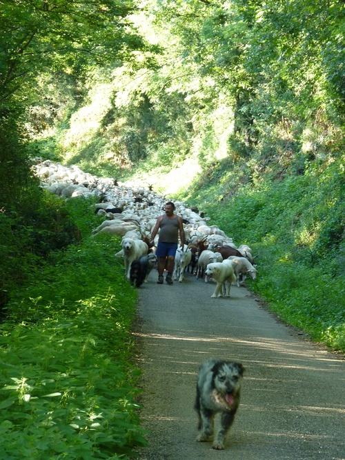 Transhumance des moutons 2011