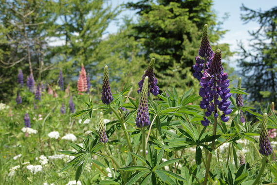 Lupins sauvages