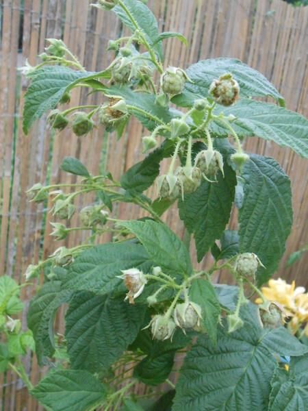 n°163- Récolte au jardin