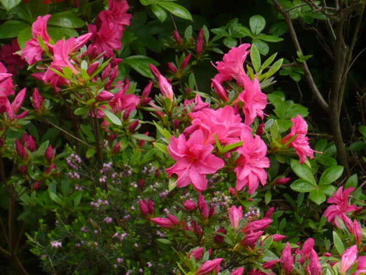 un fin de semaine plein de rhododendrons....