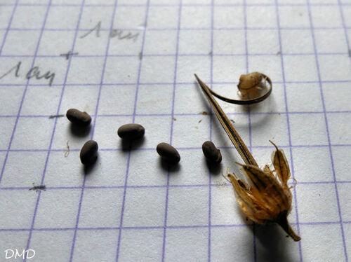 Geranium sylvaticum  -  géranium des bois