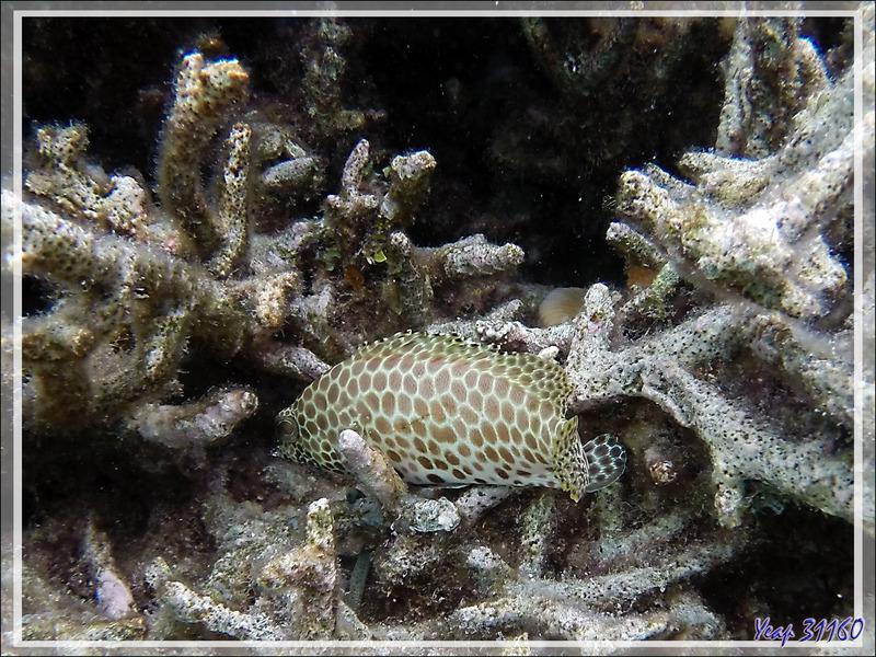 Snorkeling : Mérou Risdael, Mérou tapis, Snubnose grouper, Large-spotted rockcod (Epinephelus macrospilos) - Moofushi - Atoll d'Ari - Maldives