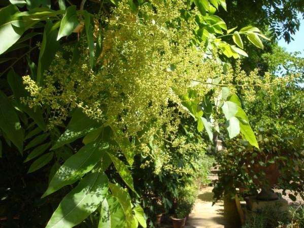 Jardin botanique de Palerme, Arbre au savon 2jpg