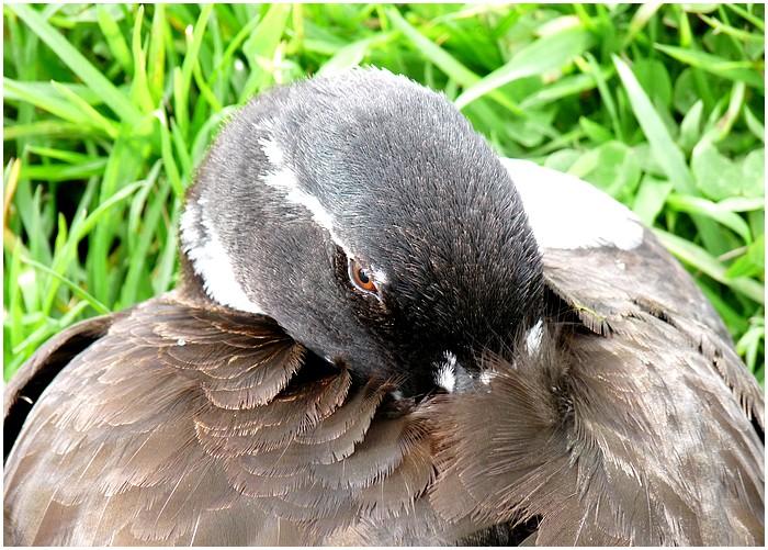 Portraits de canards