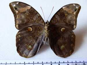 Catoblepia xanthus xanthus