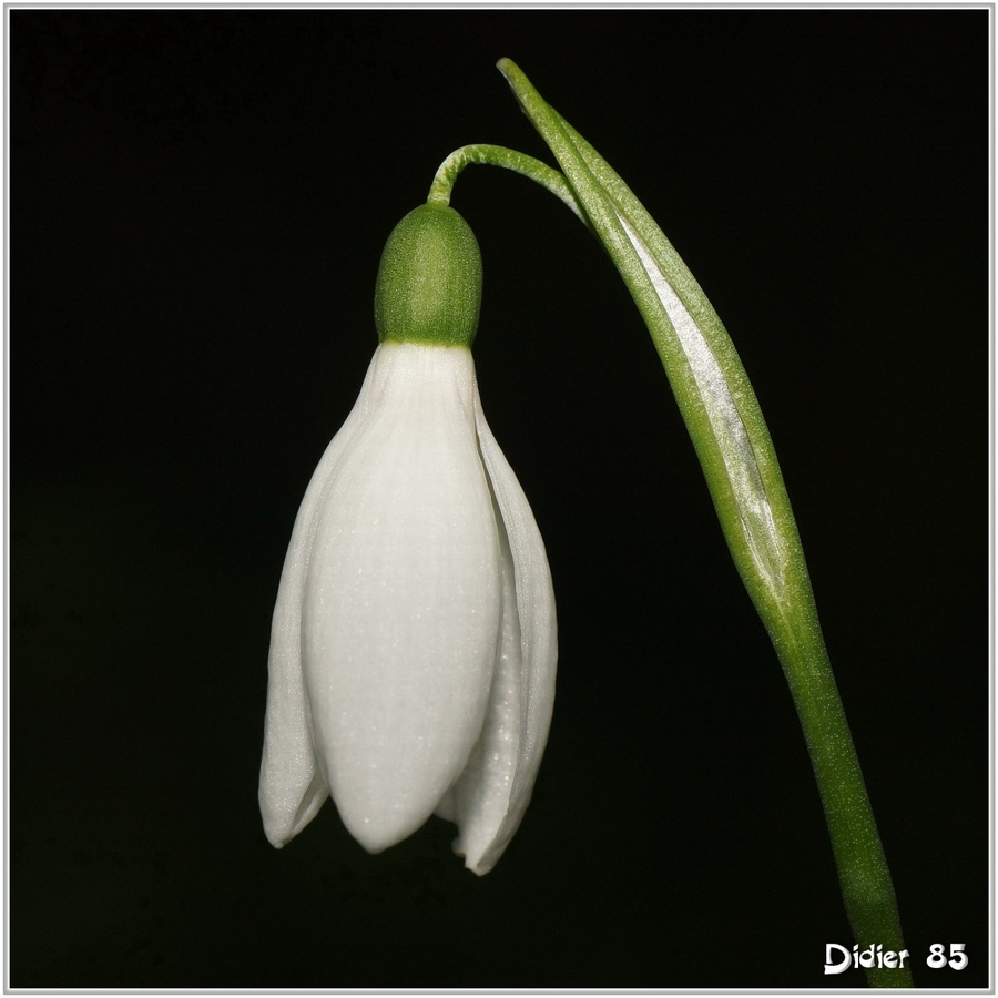 Perce-Neige (1) - Galanthus nivalis