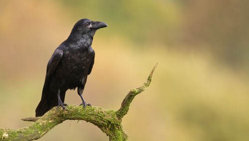 L'intelligence des corbeaux