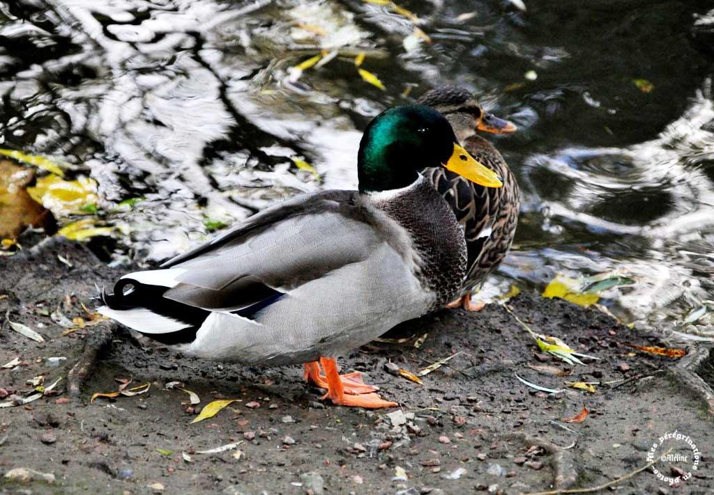 Suite de l'étang de la Lawe...les canards !