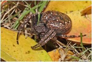 Les araignées : ARANEIDAE