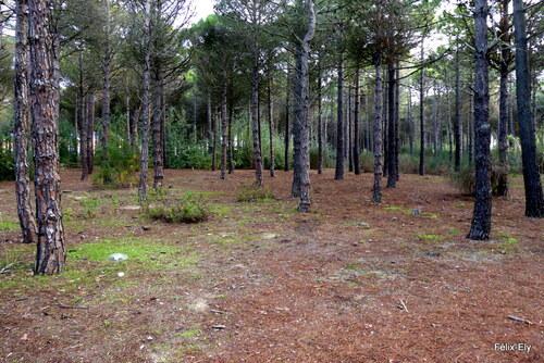 Dans la pinède : les pins ! (1)