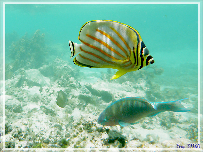 Poisson-papillon orné, Ornate butterflyfish (Chaetodon ornatissimus) - Moorea - Polynésie française