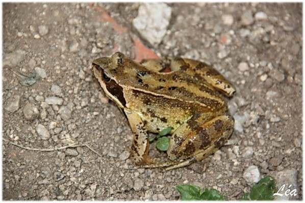 Batraciens-tritons-9296-grenouille-agile.jpg