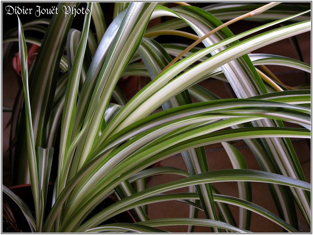 Chlorophytum / Chlorophytum corosum
