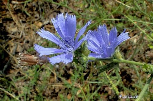 Cette belle fleur bleue appartient à la chicorée sauvage - Cichorium intybus