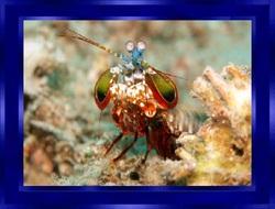 La Crevette-mante Paon