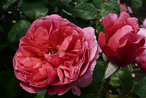 Rose-Line-Renaud--18-6-10-P936.JPG