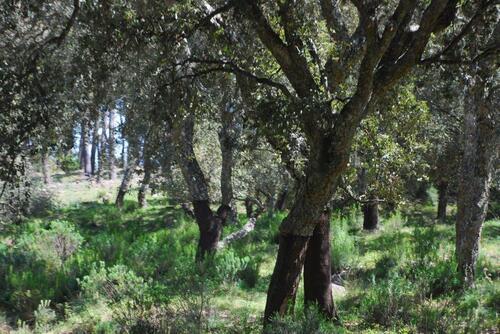 Des chênes liège
