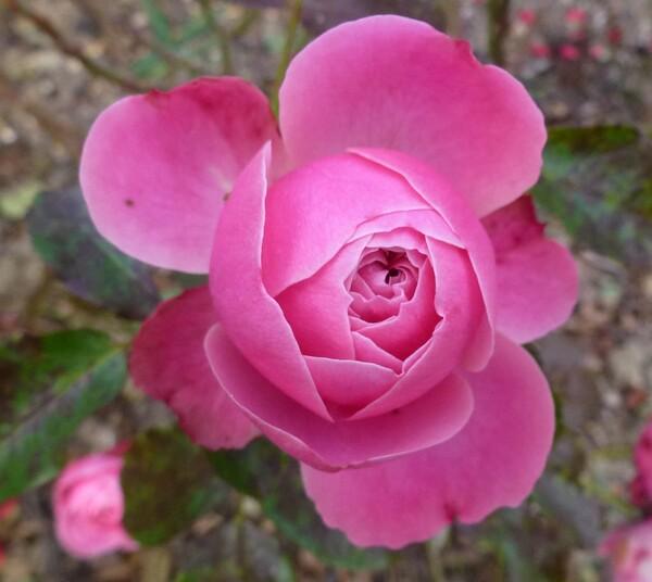 Dernières roses de mon jardin