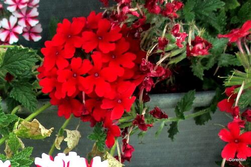 Mes fleurs rouges