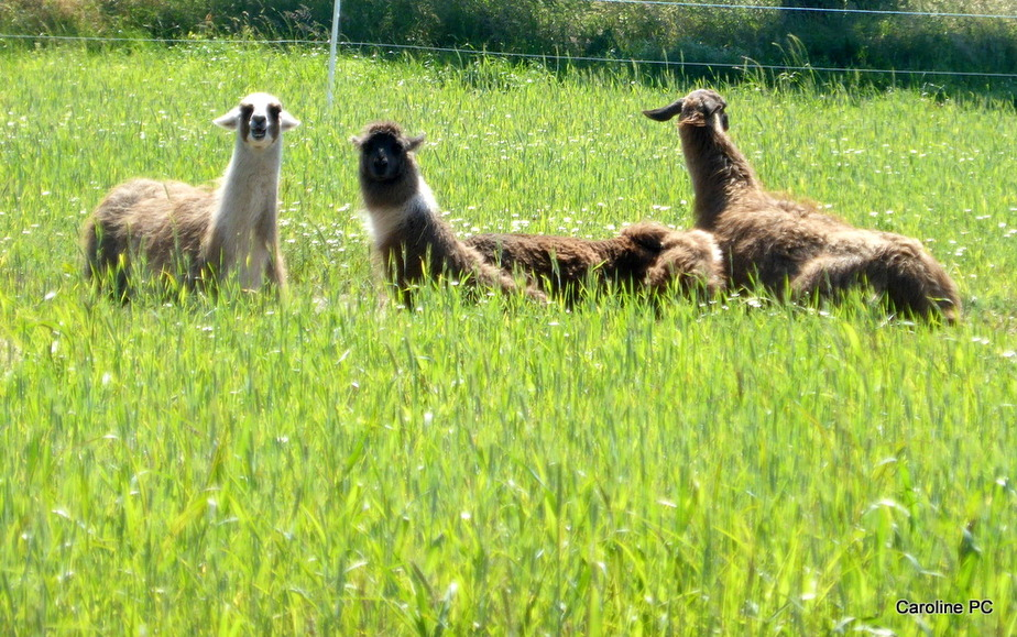 *Des lamas à Mimizan*