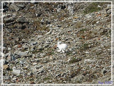 Lièvre arctique (Lepus arcticus) - Cambridge Point - Coburg Island - Baffin Bay - Nunavut - Canada