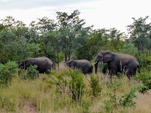 parc Krüger; un groupe d'éléphants