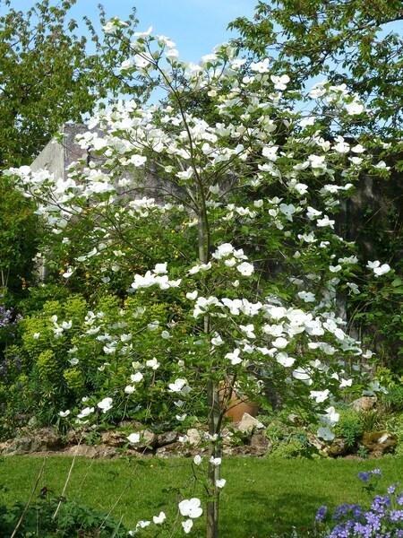 Cornus Eddie's white wonder