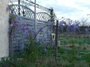 Wisteria sinensis et Wisteria floribunda