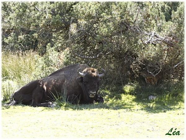 _MG_2654-bison.jpg