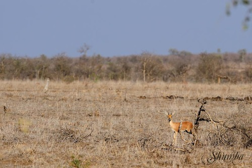 Kruger (Sept 2016): the ungulates
