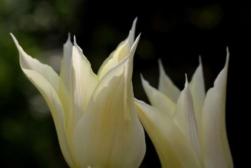 Tulipes Sapporo4