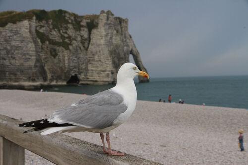 Goéland Argenté (European Herring Gull)