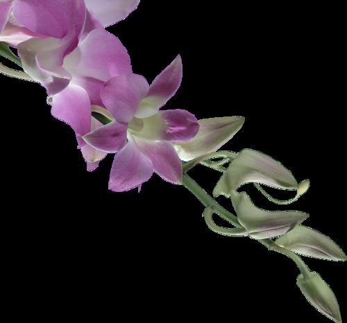 Orchidées / 1