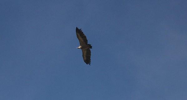 vautour-fauve 1