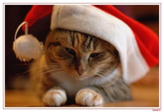 Le no l des chats au coeur des chats - Image de chat de noel ...