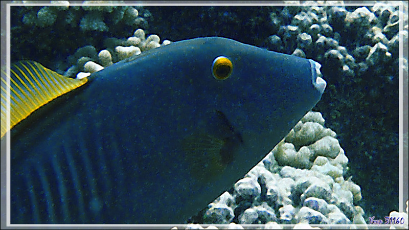 "Monacanthe rayé, Arbalétrier gris, Barred filefish (Cantherhines dumerilii) et Poisson-papillon ""coucher de soleil"", Sunset butterflyfish (Chaetodon pelewensis) - Passe Tumakohua - Atoll de Fakarava - Polynésie"