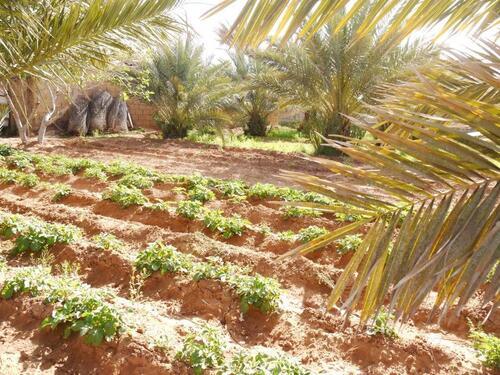 Une petite palmeraie qui jouxte le campinf