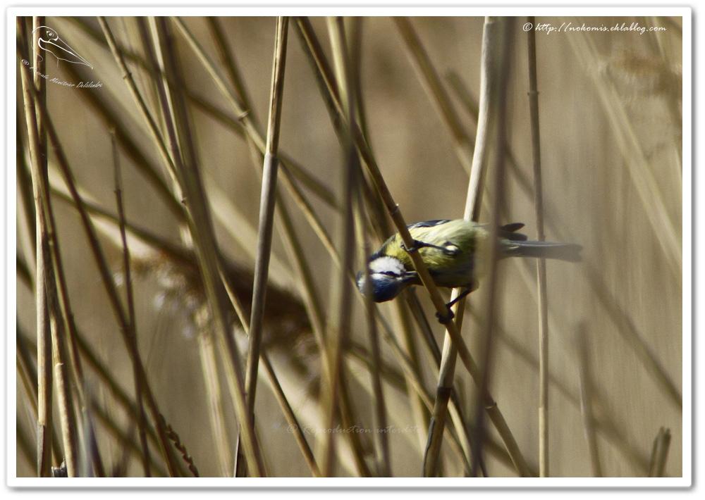Mésange bleue - Cyanistes caeruleus