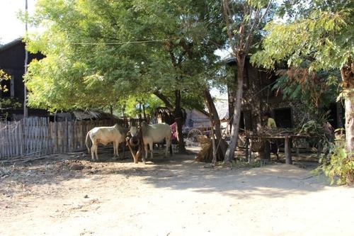Entre Bagan et Monywa, le village de Mau ale