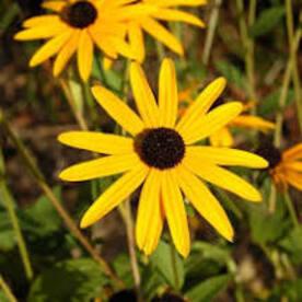 Rudbeckia fulgida Goldsturm - Soleil vivace d'automne