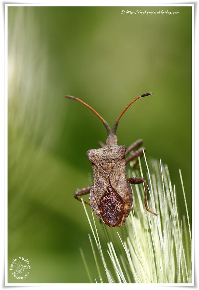 Coreus marginatus famille des Coreidae