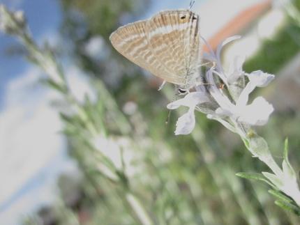 L'azuré porte-queue ou Lampides boeticus, petit papillon bleu
