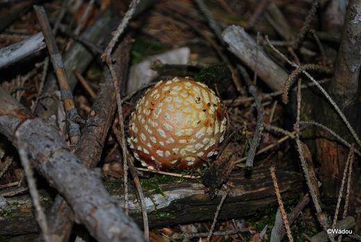 Amanite tue mouches (Amanita muscaria) Amanitaceae