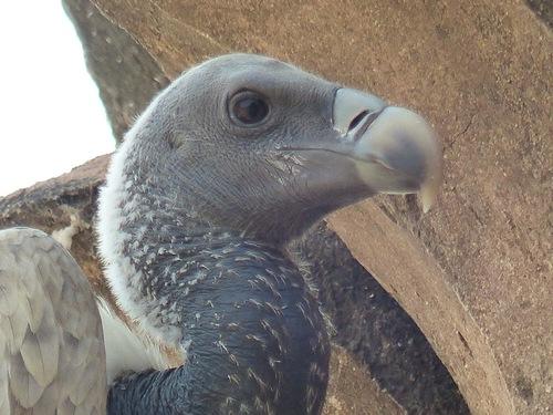 un vautour nous surveille