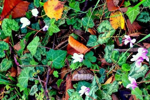 Feuilles et fleurs du cyclamen