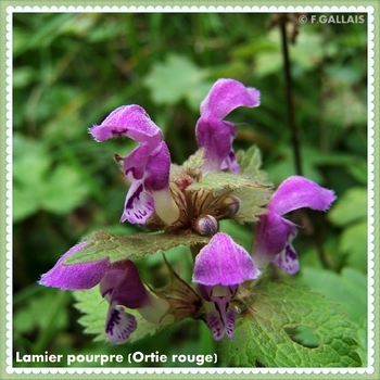 Lamier pourpre-Ortie rouge-Lamium purpureum